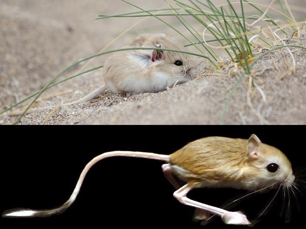 Microdipodops pallidus