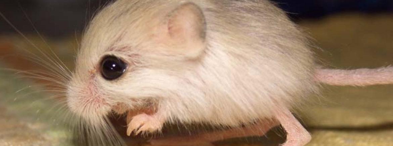 Il topo canguro pallido