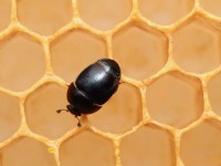 """Dall'Africa la grave minaccia della """"distruzione"""" delle api"""
