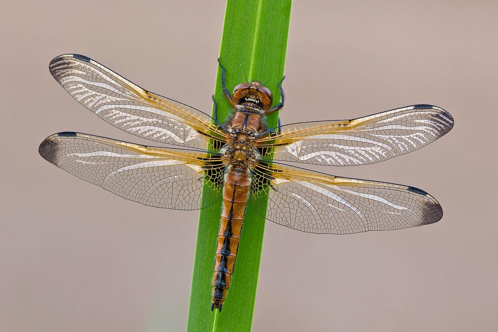 libellula fulva (femmina)