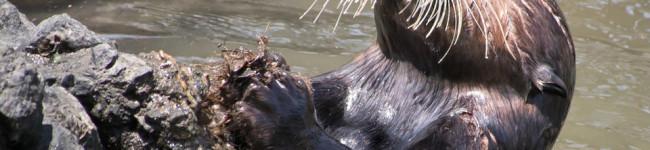 La lontra di mare