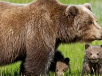"""Uccisa Kj2, la Provincia non ha risparmiato l'orsa """"problematica"""""""