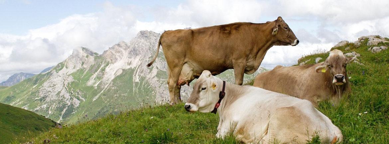 La digestione nei ruminanti (SPECIALE)