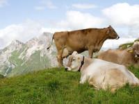La digestione nei ruminanti