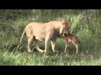 La leonessa e il piccolo gnu