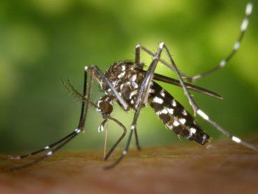 Zanzara tigre addio! Arrivano i maschi sterili