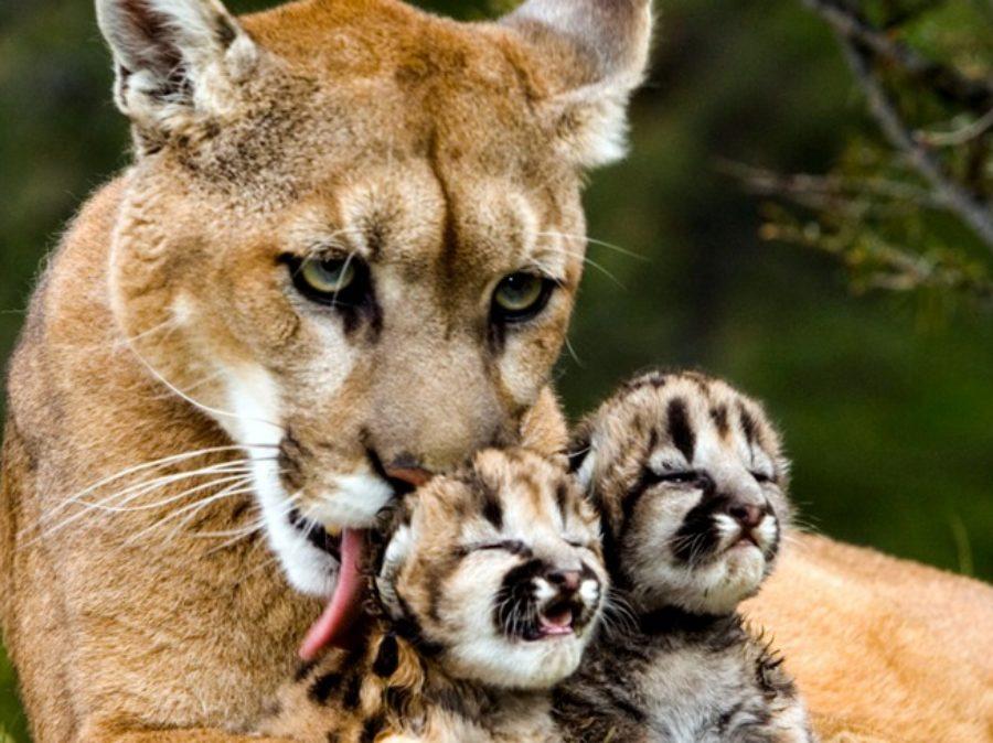 """Il puma, un grande """"piccolo felino"""""""
