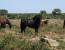 I cavallini della Giara (Sardegna) a rischio di estinzione