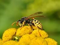 La vespa cartonaia