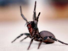 Il ragno di Sydney, l'aracnide più letale del pianeta