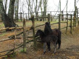 Operazione di Accademia Kronos per aiutare i cavallini della Giara