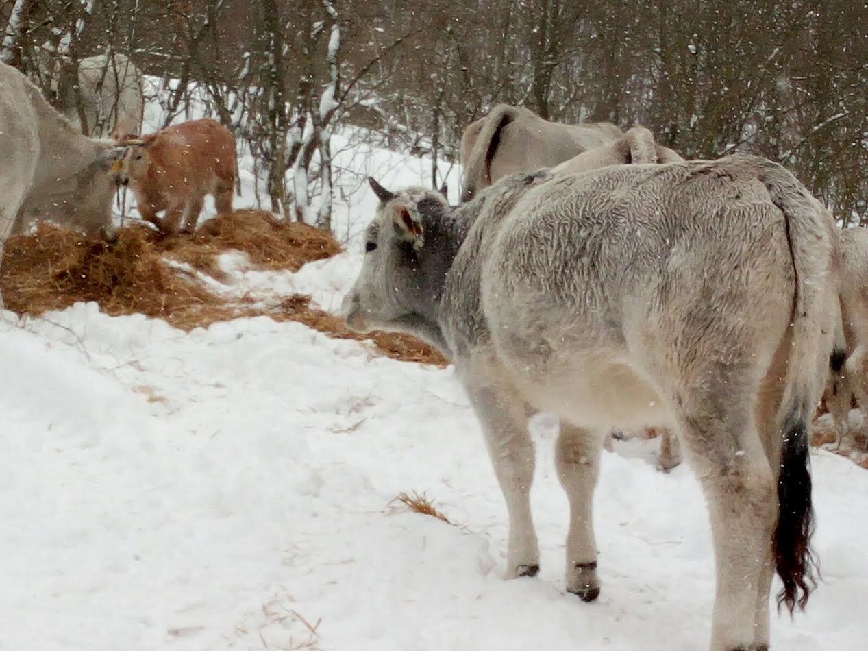 mucche in condizioni precarie