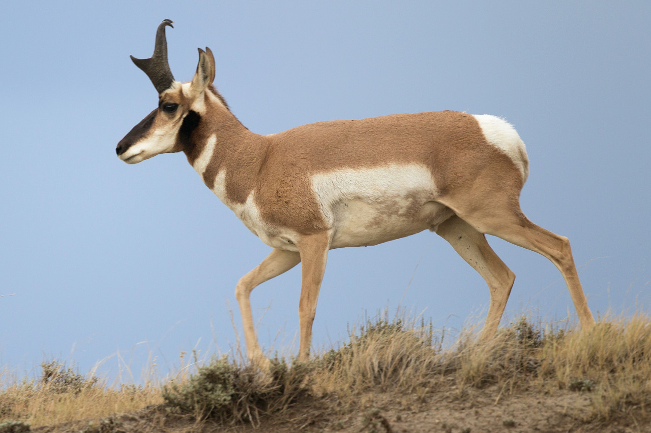 Antilocapra_americana_male_(Wyoming,_2012)