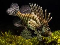 Pesci esotici, alghe invasive e granchi tropicali: gli alieni del Mediterraneo