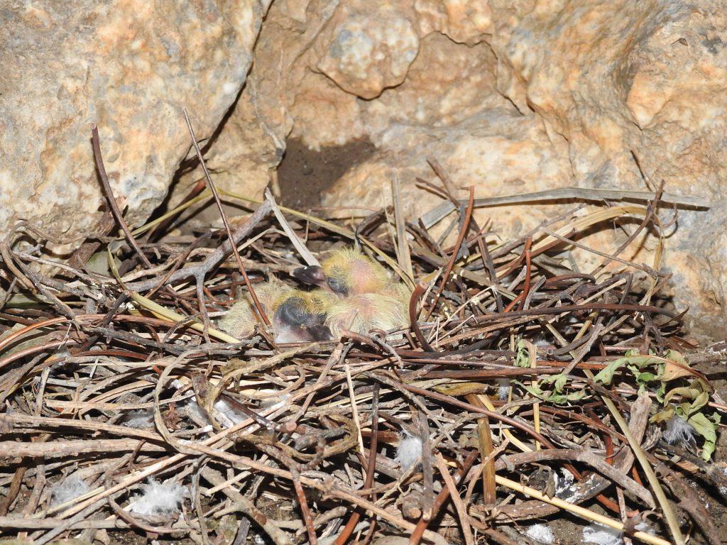 pulcini di piccione
