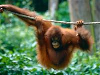 L'orango del Borneo