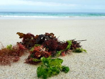 Dalle alghe il futuro dell'alimentazione umana e non solo…