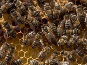 L'ape da miele