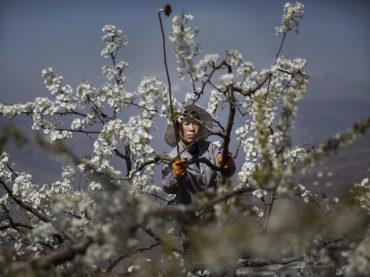 Cina, impollinatori al lavoro al posto delle api