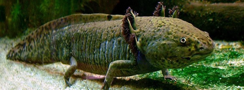 L'axolotl messicano