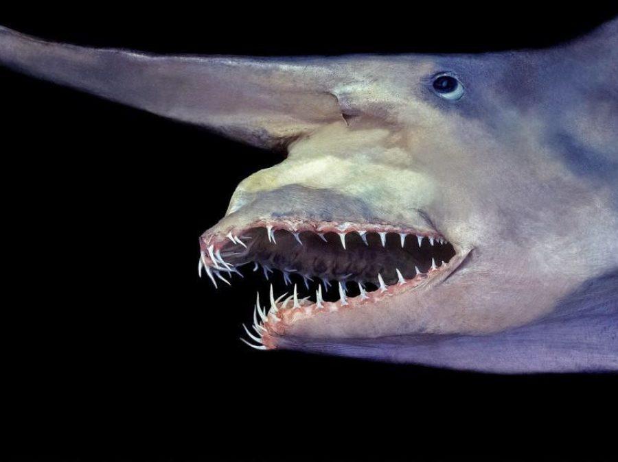Lo squalo goblin
