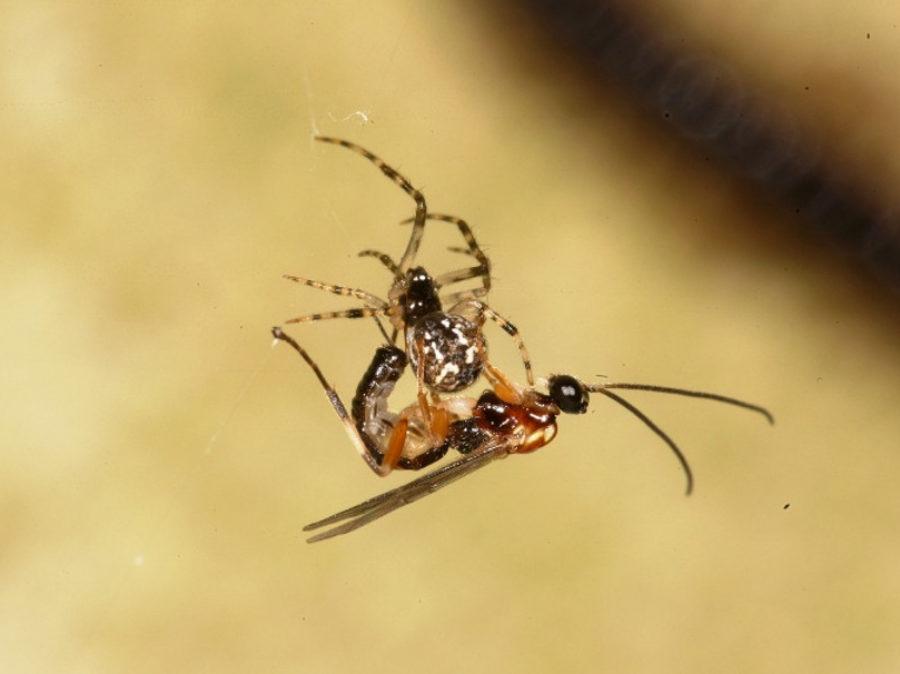 """La vespa che trasforma i ragni in """"zombie"""""""