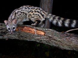 Avvistato in Liguria un animale che si pensava estinto in Italia, la genetta