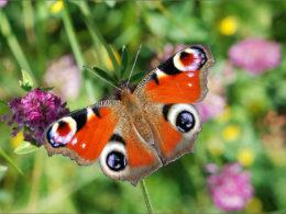 Vanessa io, la farfalla che sembra un pavone