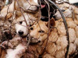 Yulin, l'assurdo Festival Cinese della Carne di Cane