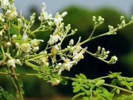 La pianta della longevità esiste