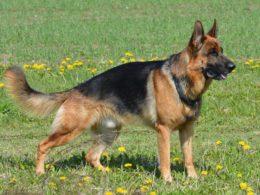 Quanto lupo c'è nei nostri cani?