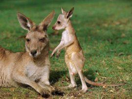 Vittoria per i canguri… stop all'uso di pelli