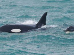 4 Orche nel Mar Ligure – un triste epilogo per il loro cucciolo