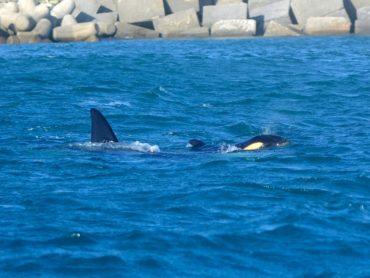 """Le orche giunte più di un mese fa nel Mar Ligure stanno tornando a """"casa"""""""