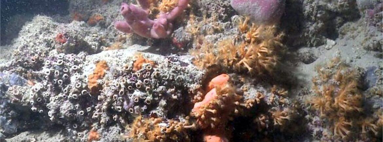 In Puglia confermata la presenza di una barriera corallina, al largo di Monopoli