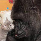 La straordinaria Storia di Koko la gorilla intelligente