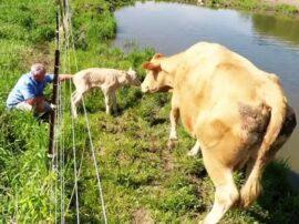 Una mucca ha chiesto aiuto ad un uomo per salvare il suo vitellino