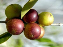 Può una bacca dell'amazzonia, Myrciaria dubia, migliorare le nostre difese contro il virus SARS-CoV-2?