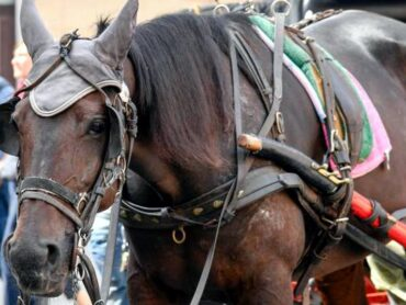 Normativa nazionale a tutela degli animali da traino