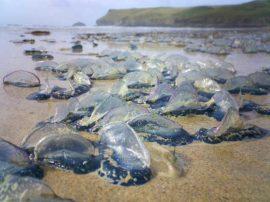 """Invasione di piccole """"meduse"""" blu lungo le coste del Tirreno"""
