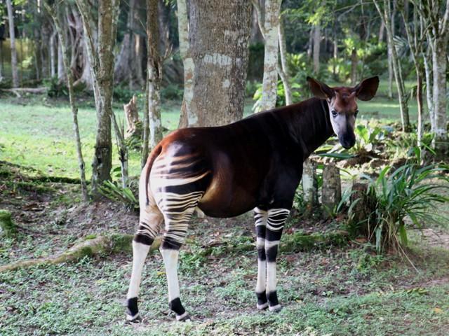 Okapi maschio