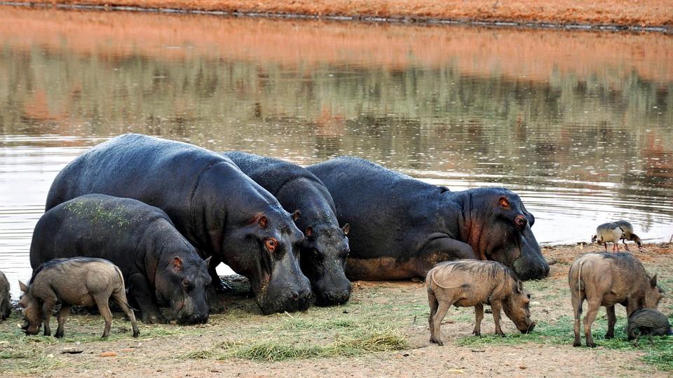 gruppo di ippopotami