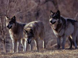 Il lupo è tornato! Presenze rilevate su tutta la penisola italiana