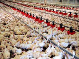 L'angolo della petizione: fermiamo il proliferare degli allevamenti intensivi