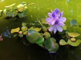 La sciagura climatica annunciata e la storia del giacinto d'acqua