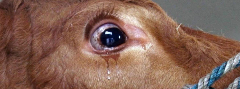 Anche le mucche piangono