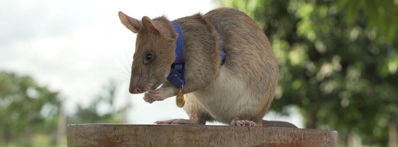 """Massima onorificenza britannica a Magawa, un ratto sminatore che ha """"bonificato"""" la Cambogia!"""